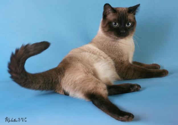Расцветка тайских котов