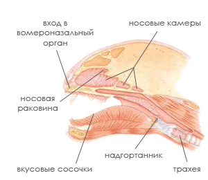 Обонятельные органы кошки