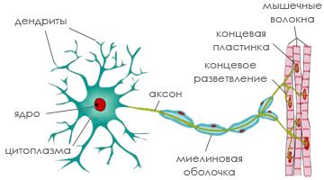 Нейрон - нервная клетка кошки