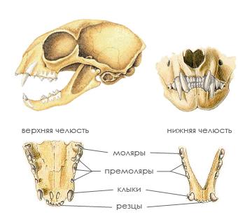 Череп и зубы кошки