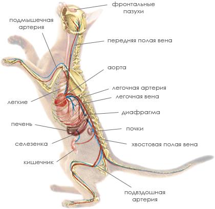 Кровеносная и дыхательная системы кошки