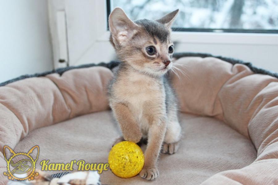 Продаётся абиссинский котёнок голубого окраса