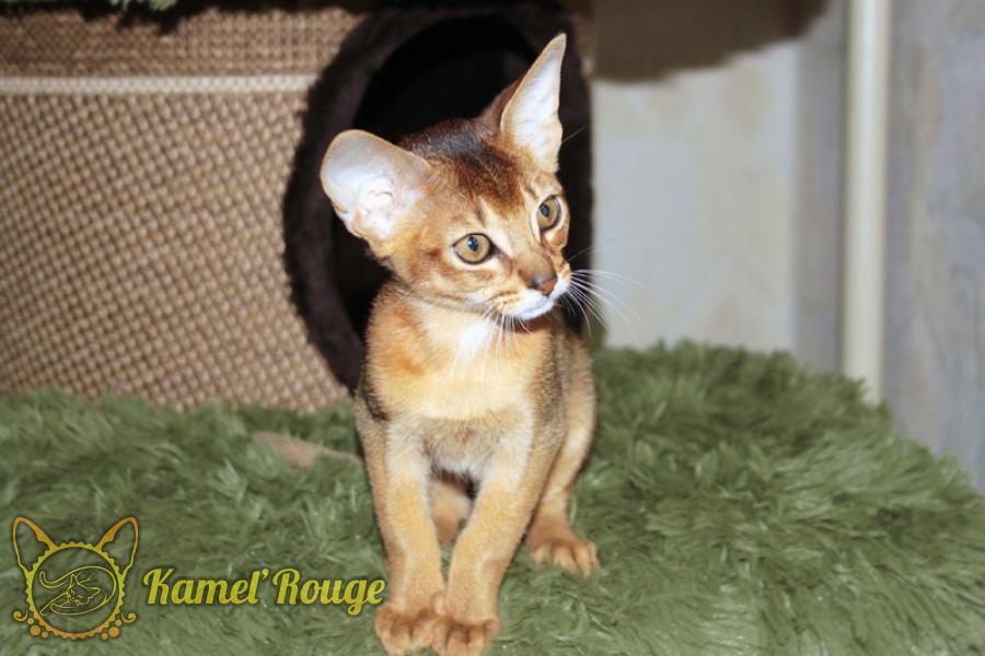Абиссинский котёнок дикого окраса. Питомник КамельРуш