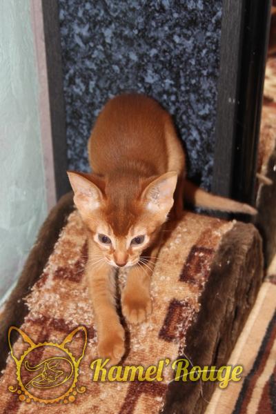Продаётся абиссинский котёнок окраса соррель. Питомник КамельРуш