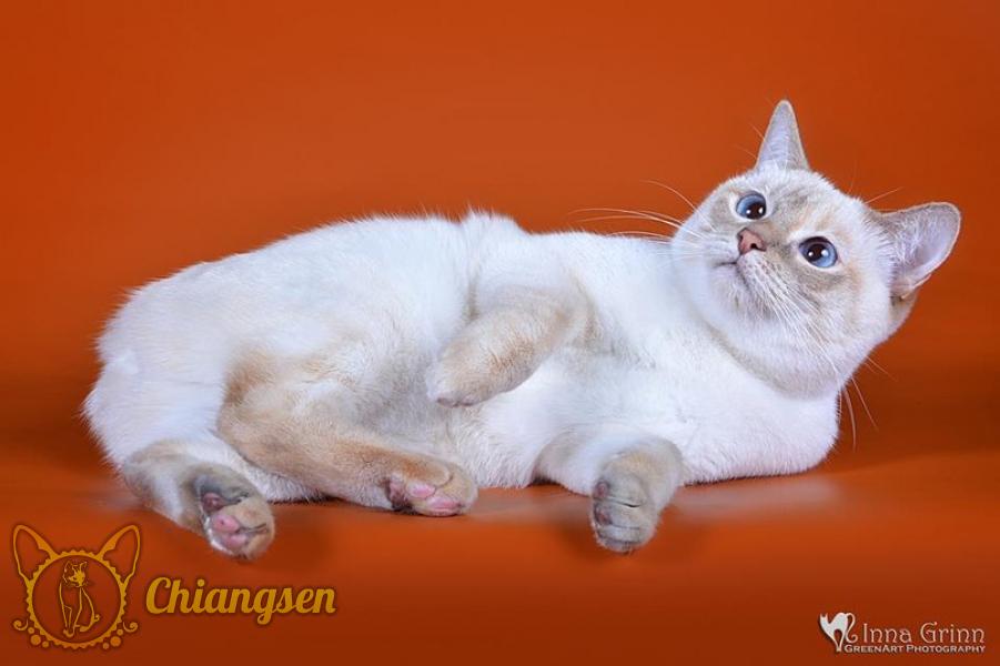 Меконгский бобтейл. Кошка окраса лайлак-торти-табби-пойнт