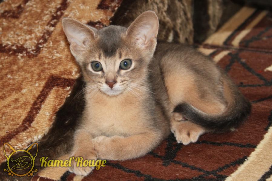 Продаётся абиссинский котёнок голубого окраса. Питомник КамельРуш
