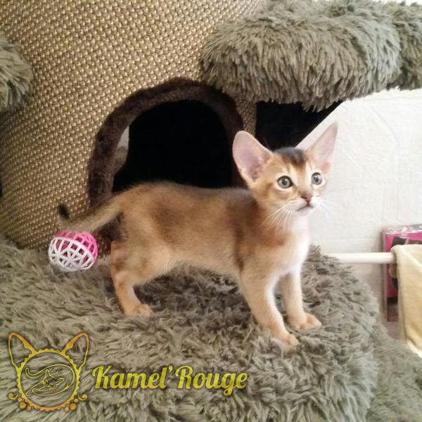 Абиссинский котёнок окрас дикий. Питомник КамельРуш