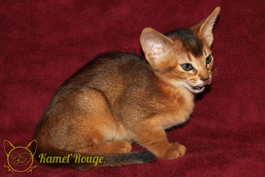 Продаётся абиссинский котёнок дикого окраса. Питомник КамельРуш