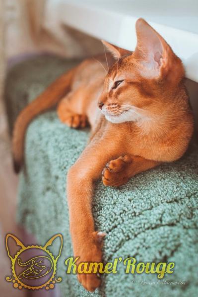 Абиссинские кошки и котята. Питомник КамельРуш. Мурманск.