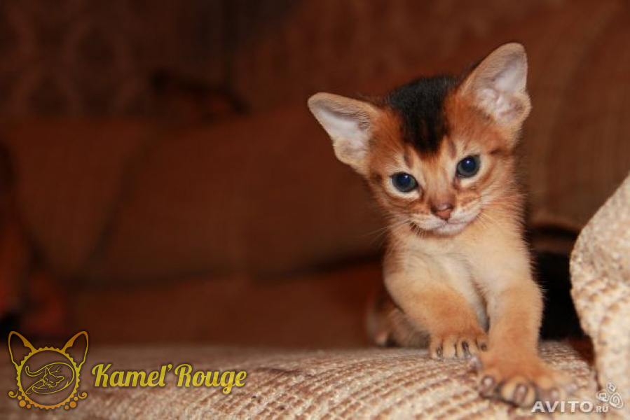 Продаются абиссинские котята. Питомник КамельРуш. Мурманск