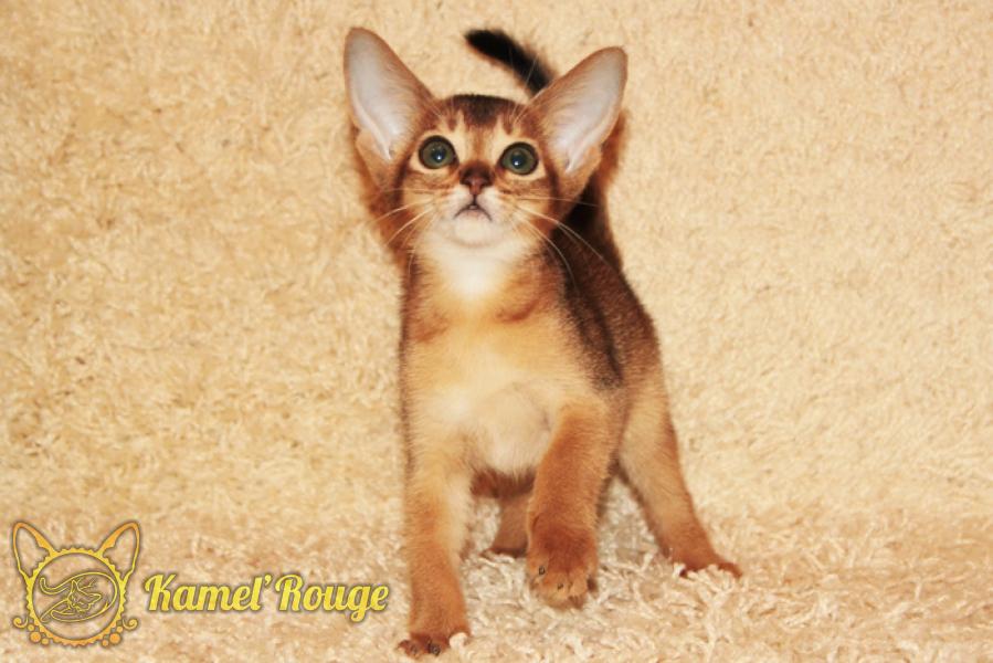 Продаются абиссинские котята. Мурманск. Питомник КамельРуш