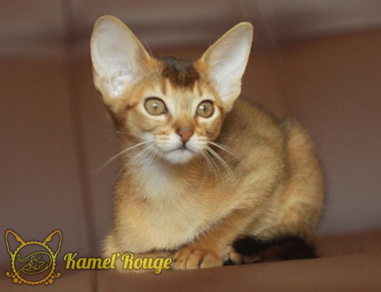 Абиссинские котята Мурманск. Купить котёнка.