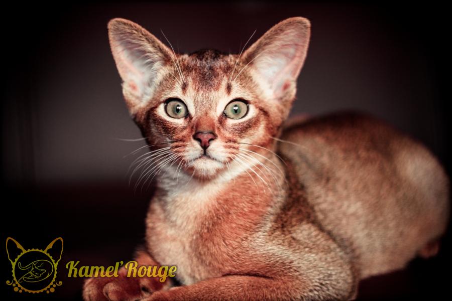 Абиссинские котята. Продажа абиссинских котят. Питомник