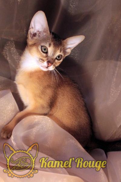 Продаются абиссинские котята. Мурманск. Питомник