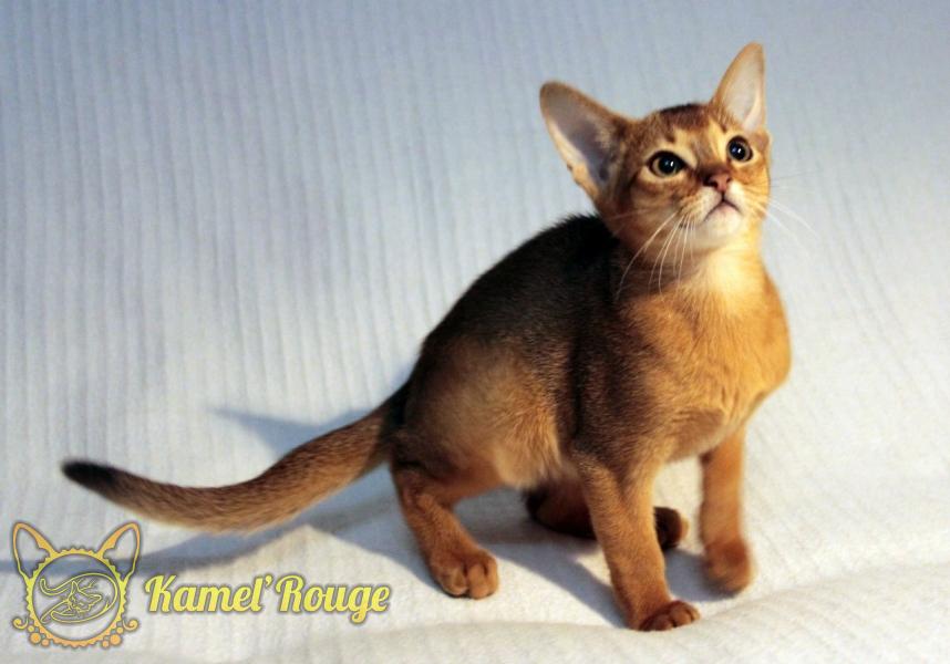 Абиссинские котята. Продажа котят. Питомник