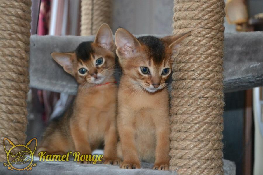 Продажа абиссинских котят. Мурманск