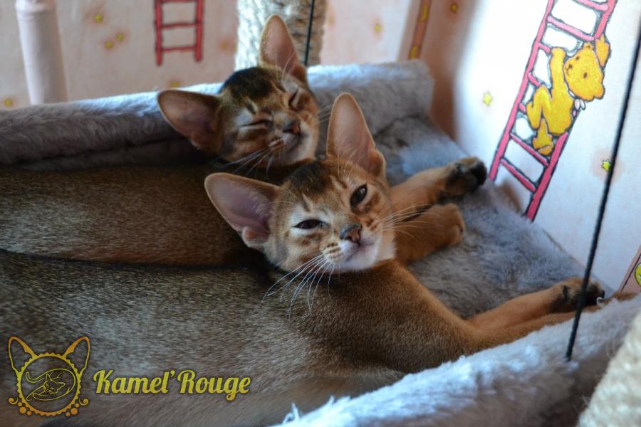 Продаются абиссинские котята из питомника